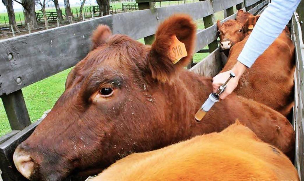 vacuna-contra-la-aftosa-5