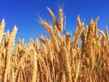 wheat-863392_1280