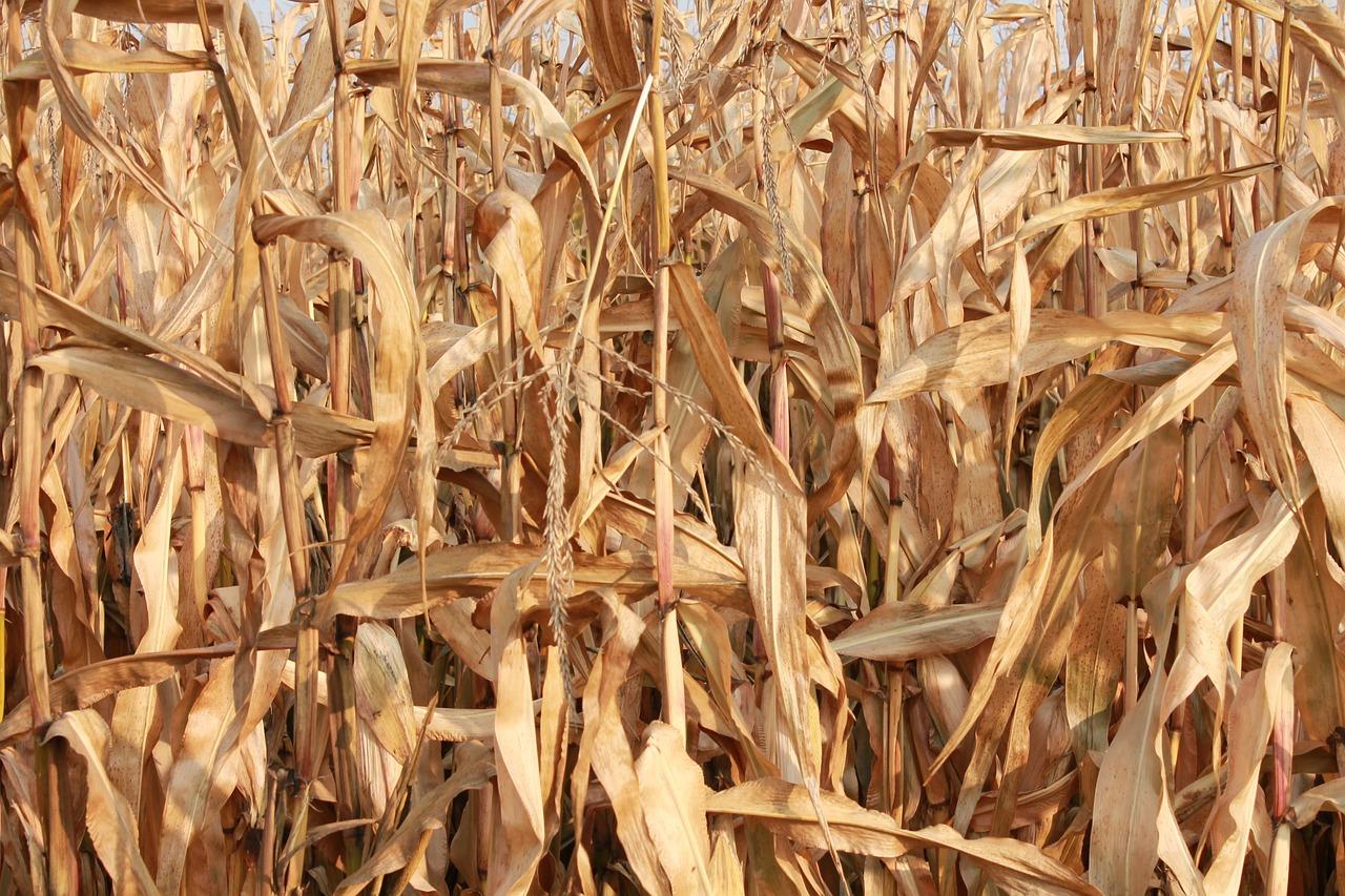 maize-209289_1280